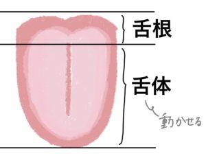舌の構造-動き